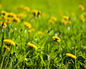Close-up view of dandelions through grass in field in sunbeams. — Stock Photo