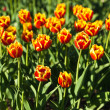 Red and yellow tulips in evening sunbeams. Foreground in focus. — Stock Photo