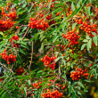 Red rowan berries on the tree - Stock Photo