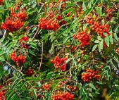 Red rowan berries on the tree — Stock Photo