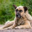Mongrel dog lying on the ground — Stock Photo #33704767