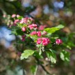 Stock Photo: Crimson hawthorn