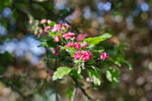 Crimson hawthorn — Stock Photo