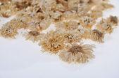 Chrysanthèmes déversés — Photo