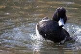 Tufted Duck Bird, Aythya fuligula — Stock Photo