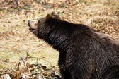 Brown Bear (Ursus arctos) — 图库照片