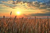 Sunset over wheat field — Stockfoto