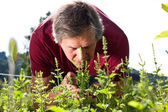 Elderly man in his garden smells of peppermint bushes — Stock Photo
