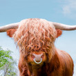 Stock Photo: Highland cattle, highland cow, closeup