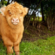 Stock Photo: Highland calf is watching viewer