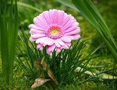Pink daisy in green garden — Stock Photo