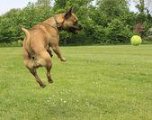Dog catching a ball — Stock Photo