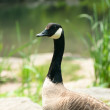 Wild goose — Stock Photo #13918440