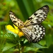 Rice paper butterfly — Stock Photo #15040757