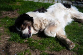 Bílý pes — Stock fotografie