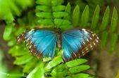 Blue butterfly — Stock fotografie