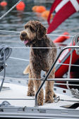 Dog on a yacht — Stock Photo