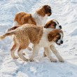 Stock Photo: St Bernard dog