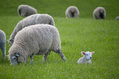 Lamb on the grass — Stock Photo