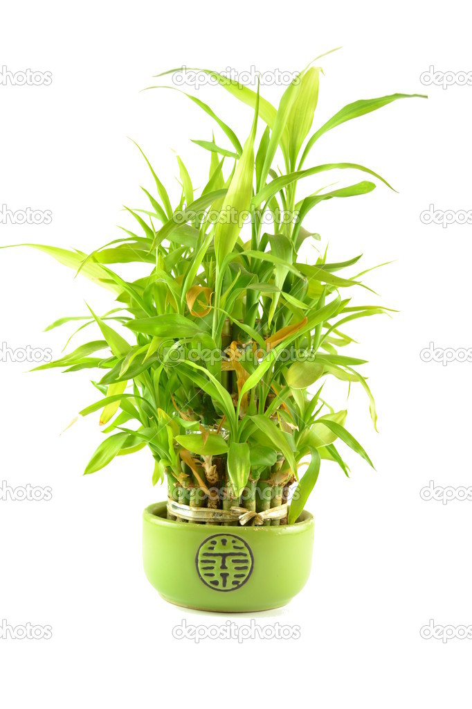 Green bamboo in a pot on a white background. — Stock Photo #12788934