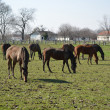 Horses at pasture — Stock Photo