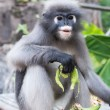 Dusky Leaf Monkey — Stock Photo