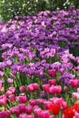Tulips in warm sunlight — Stock Photo