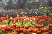 Tulips in warm sunlight — Stock Photo