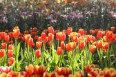 Tulips in warm sunlight — Stockfoto