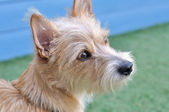 一只可爱的狗的肖像 — 图库照片