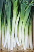 Fresh leeks — Stock Photo