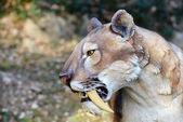 Smilodon - saber tiger zębów — Zdjęcie stockowe