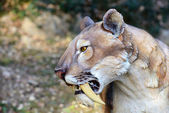 Smilodon - saber-tooth tiger — Stockfoto