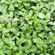 Mint plants to the market in Italy - Stock Photo