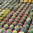 Royalty-Free Stock Photo: Succulent plants to the flower market, selective focus