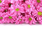 Pink chrysanthemums over white with sample text — Stock Photo