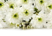 White chrysanthemums over white — Stock Photo