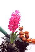 Hyacinth with shovel and flower bulbs over white — Stock Photo