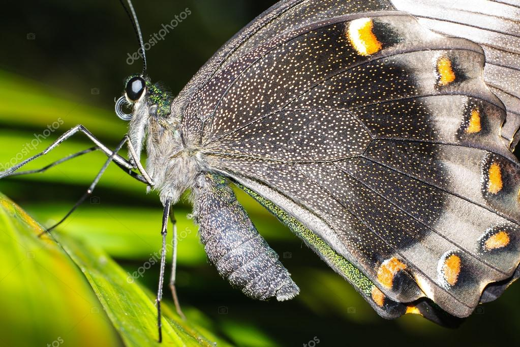 Cape Butterfly in macro on leave with detailed spots and large wings — Stock Photo #12768819