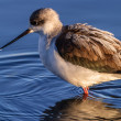 Black-winged Stilt — Stock Photo