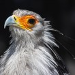Secretarybird closeup — Stock Photo