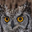 Stock Photo: Spotted Eagle Owl