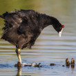 Common Moorhen — Stock Photo