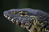 Water leguan portrait — Stock Photo