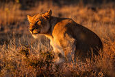 African Lionness — Stockfoto