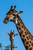 Giraffe portrait — Photo