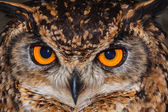 Cape Eagle Owl close-up — Stock Photo