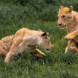 Playing Lionesses — Stock Photo