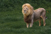 Lion d'Afrique — Photo