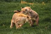 African Lionness — Stock fotografie
